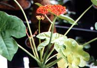Jatropha podagrica Hook. in Hydrokultur