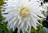 Dahlia ′Magic Moment′