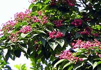 Clerodendrum trichotomum Thunb.