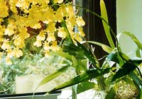 Oncidium spec. - in Hydrokultur