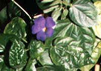 Thunbergia battiscombei Turrill