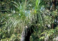 Xanthorrhoea johnsonii A. T. Lee - Grasbaum
