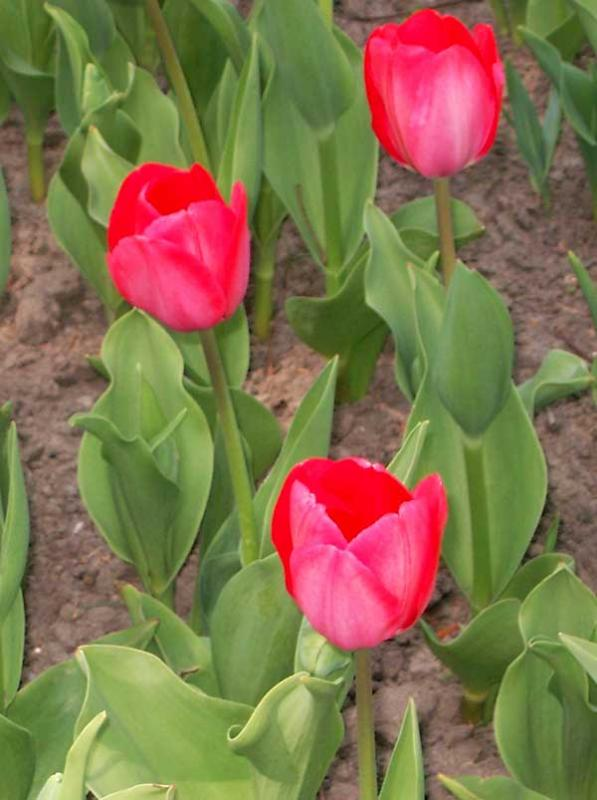 Tulipa 'Big Chief'