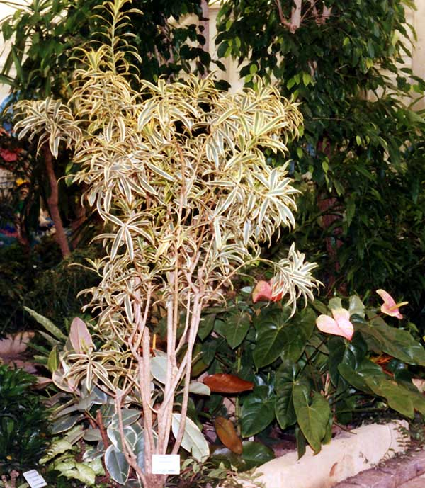 Dracaena reflexa Lam. ′Song of India′
