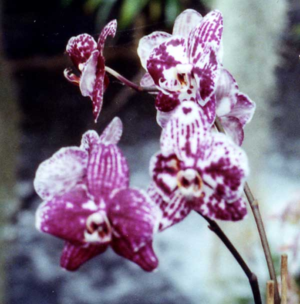 Phalaenopsis 'Everspring Red Face'