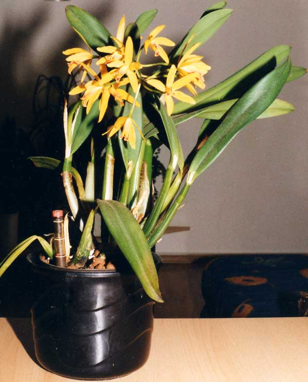 Epidendrum spec. in Hydrokultur