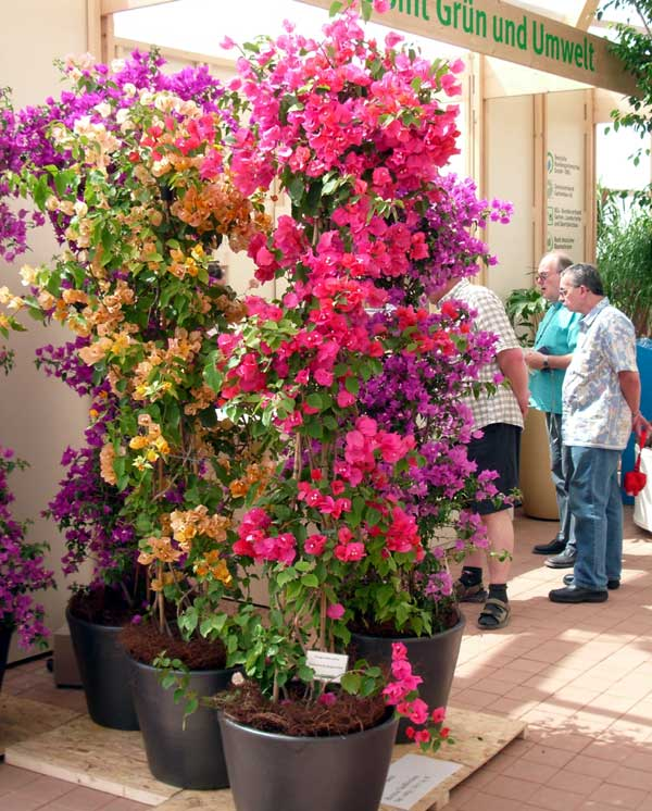 Bougainvillea spectabilis Willd. in Hydrokultur