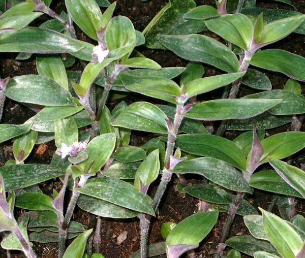Tradescantia cerinthoides Kunth