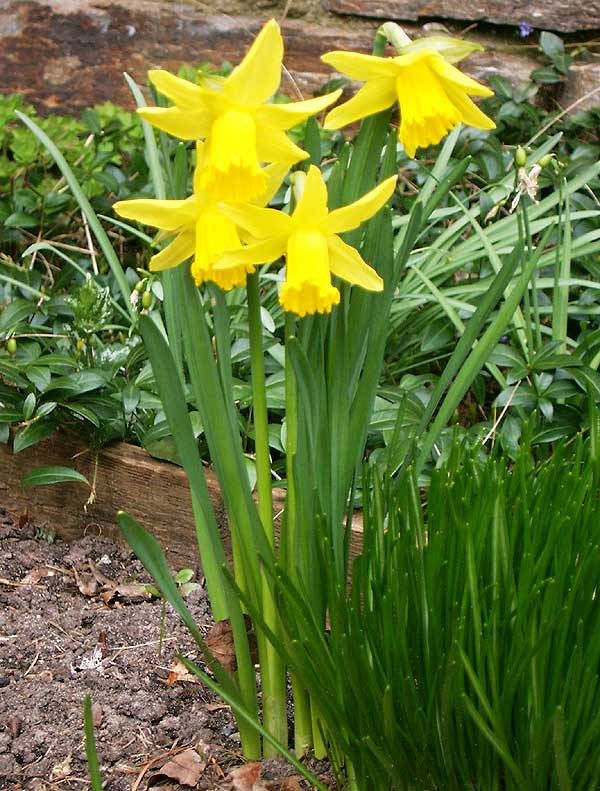Narcissus pseudonarcissus L.