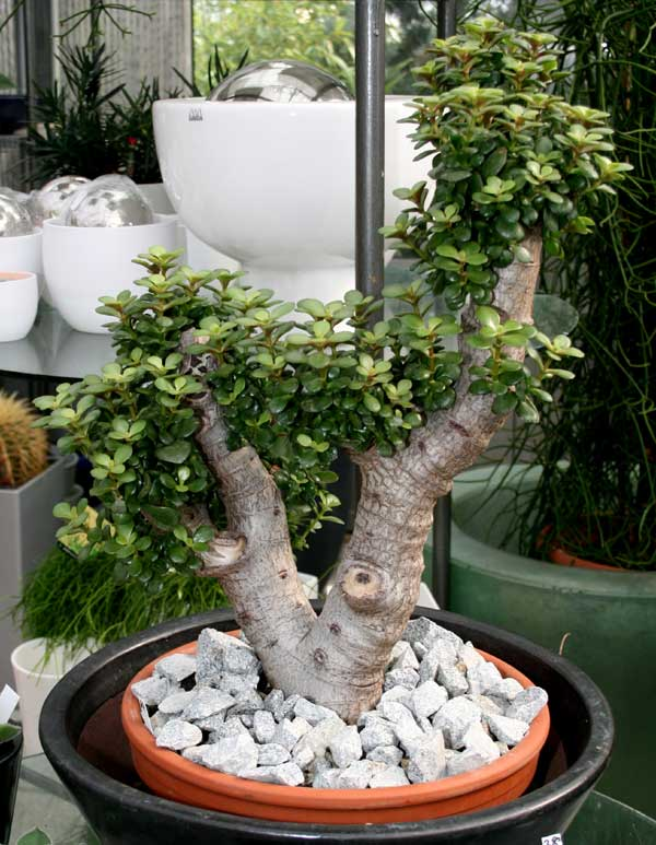 Crassula ovata mill druce for Bonsai hydrokultur