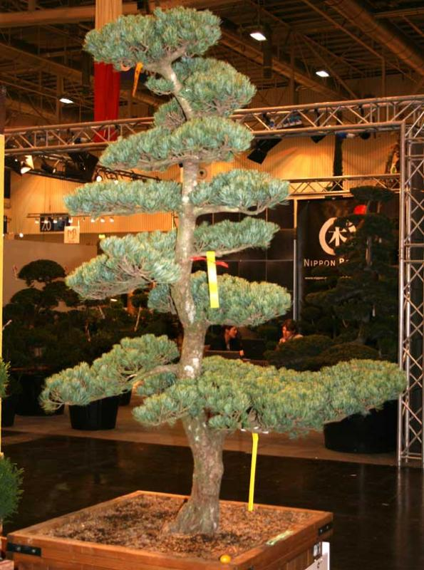 Pinus - Kiefer - als Bonsai