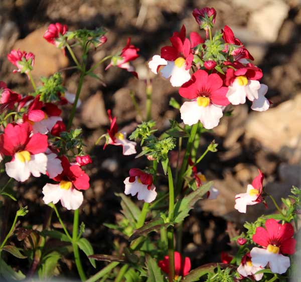Nemesia 'Mello Red and White'