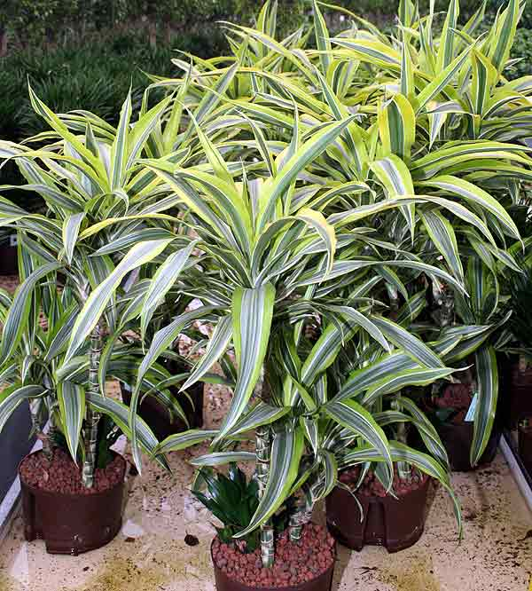 Dracaena Fragrans Lemon Lime 'lemon lime'. dracaena