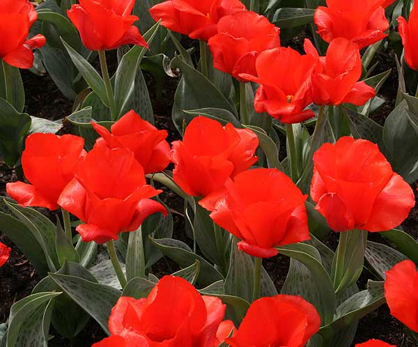 Tulipa Regel ′Grand Prestige′