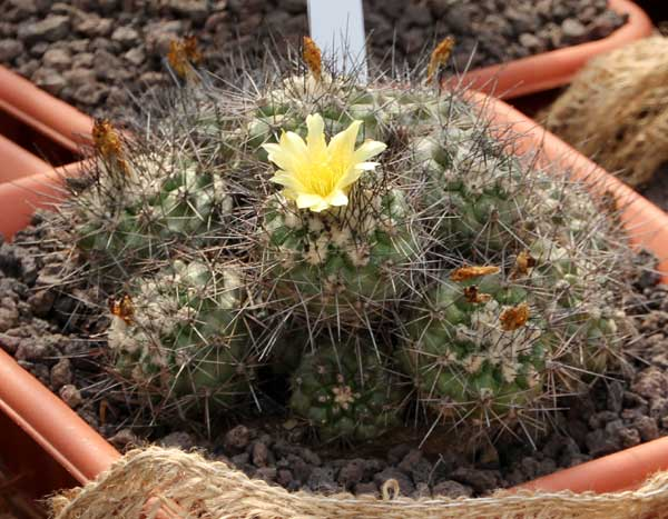 Copiapoa humilis (Phil.) Hutchison