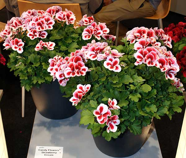 Pelargonium ×domesticum L.H. Bailey 'Strawberry Cream'