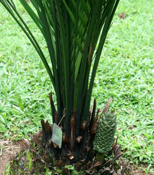 Macrozamia mountperriensis F.M.Bailey