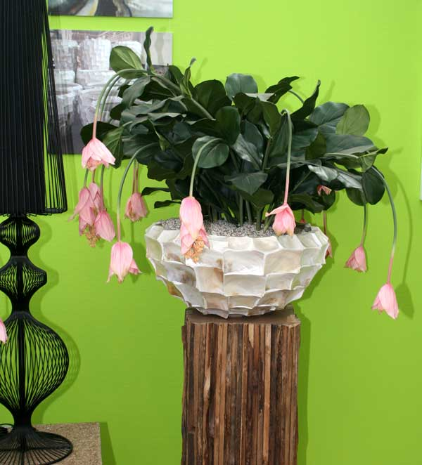 medinilla magnifica lindl hydrokultur. Black Bedroom Furniture Sets. Home Design Ideas