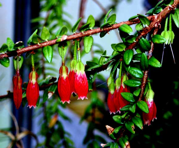 Agapetes serpens (Wight) Sleumer