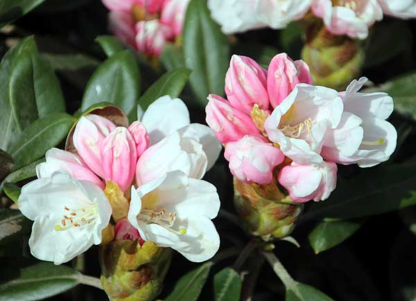 Rhododendron 'Silvervelour'