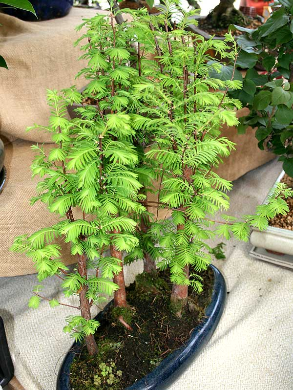Taxodium distichum l rich for Bonsai hydrokultur