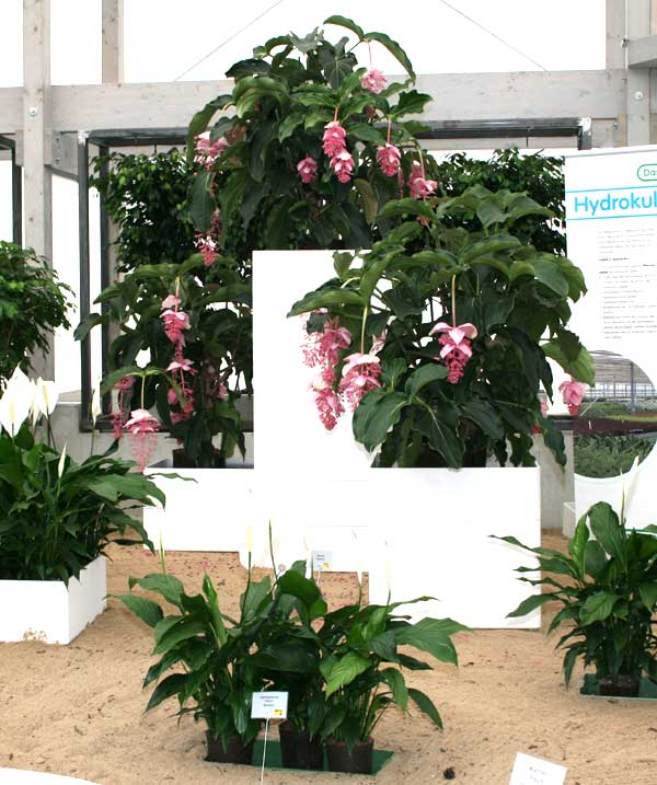 medinilla magnifica lindl in hydrokultur. Black Bedroom Furniture Sets. Home Design Ideas