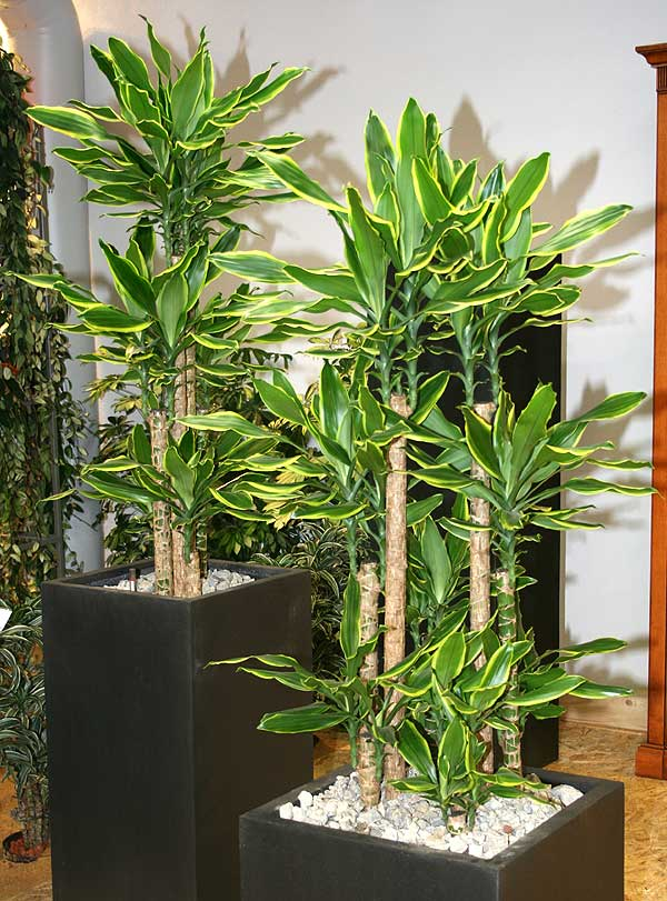dracaena fragrans l ker gawl golden coast. Black Bedroom Furniture Sets. Home Design Ideas