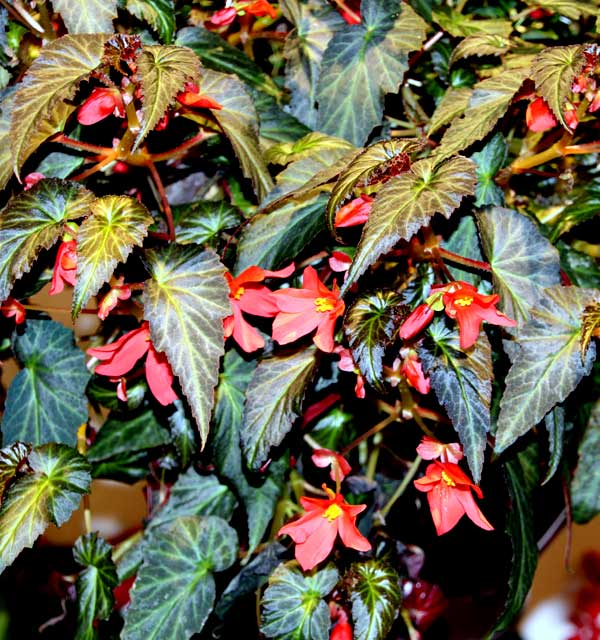 Begonia SUMMERWINGS™ 'Dark Elegans'