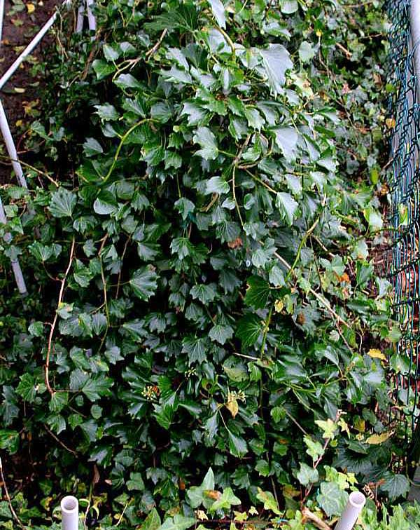 Hedera helix L. 'Old Garden'