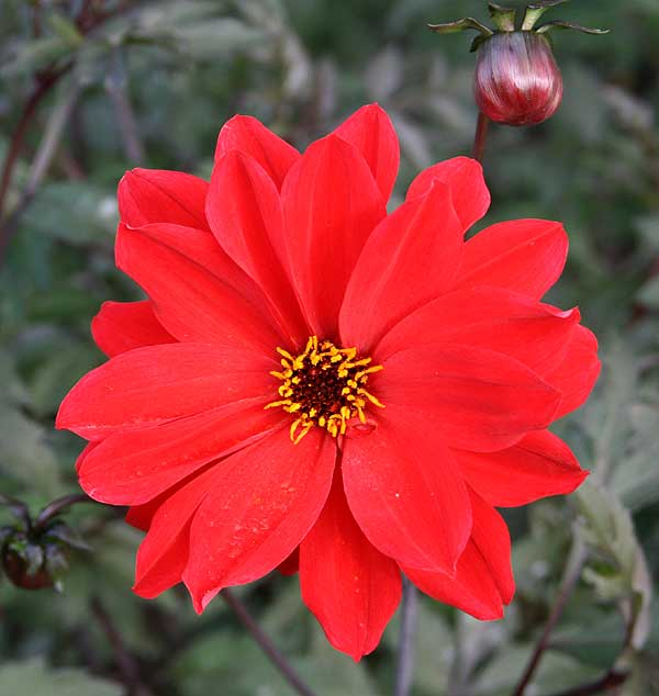 Dahlia 'Bishop of Llandaff' - Einfache Dahlie