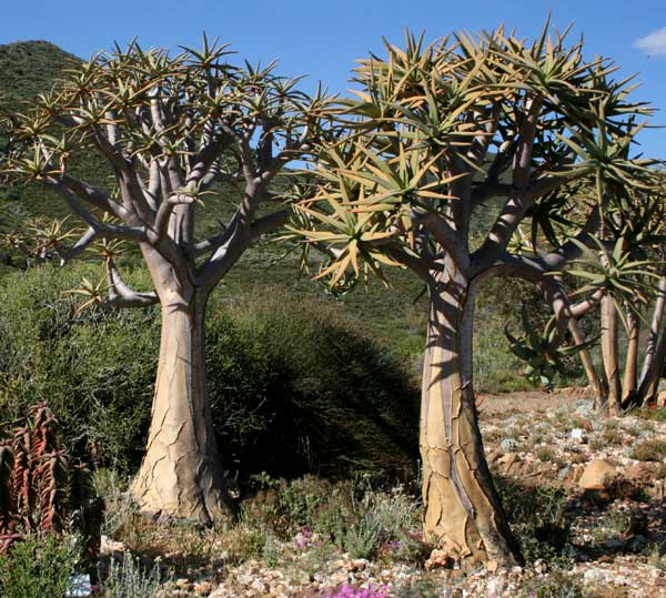"Aloe dichotoma Masson - ""Kokerboom"""