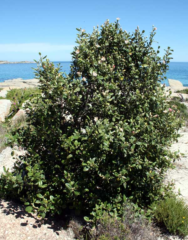 Lagunaria patersonia (Andrews) G. Don