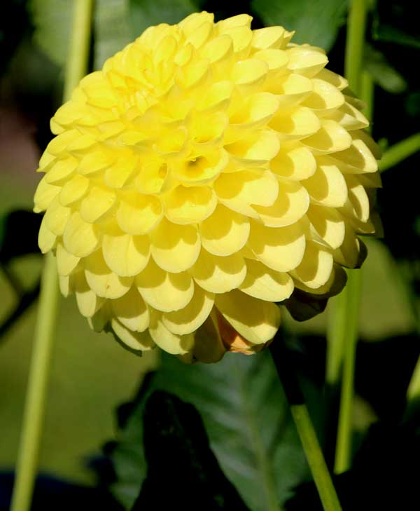 Dahlia 'Vollmond'