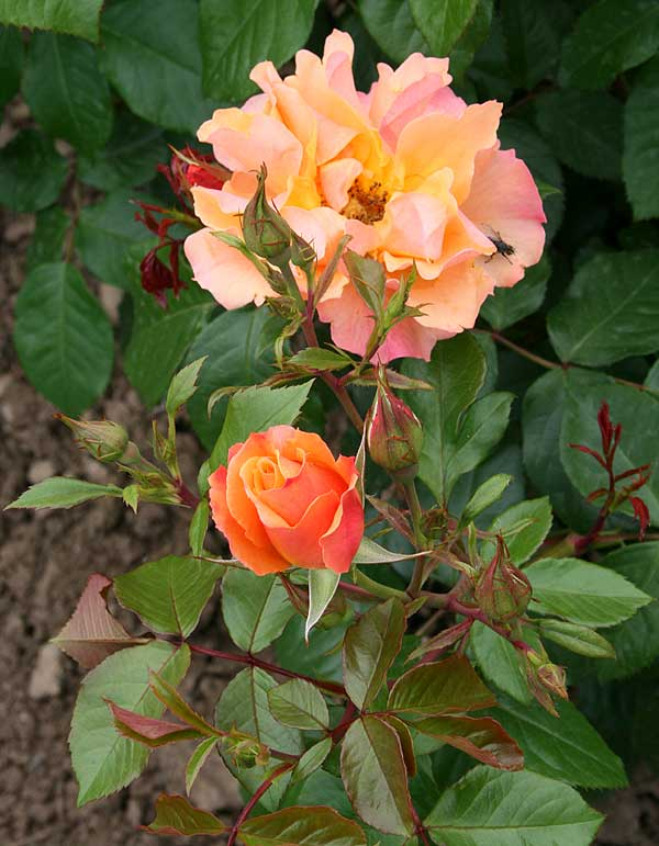 Rosa ′Tequila′