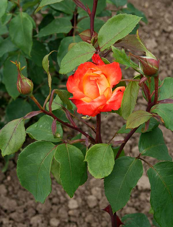 Rosa ′Pigalle′