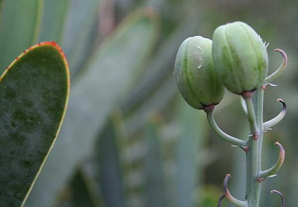 Aloe plicatilis (L.) Mill.