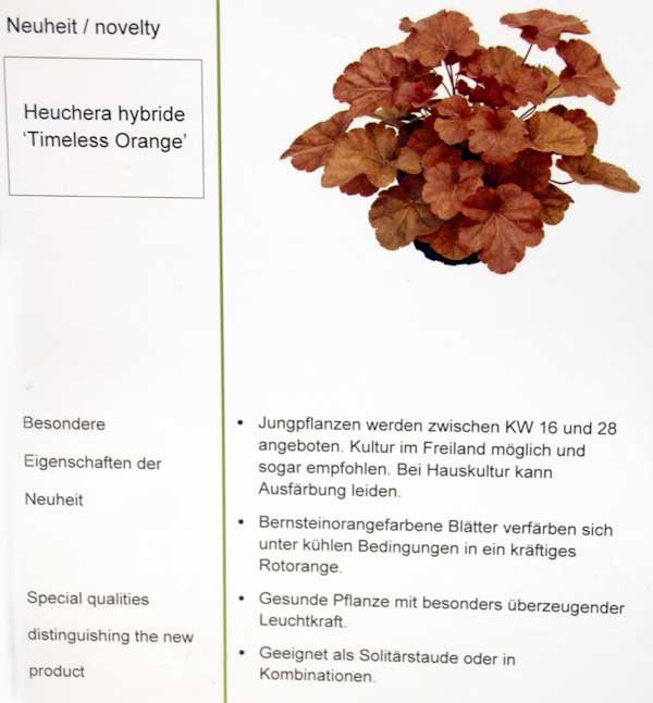 Heuchera-Hybride 'Timelss Orange'