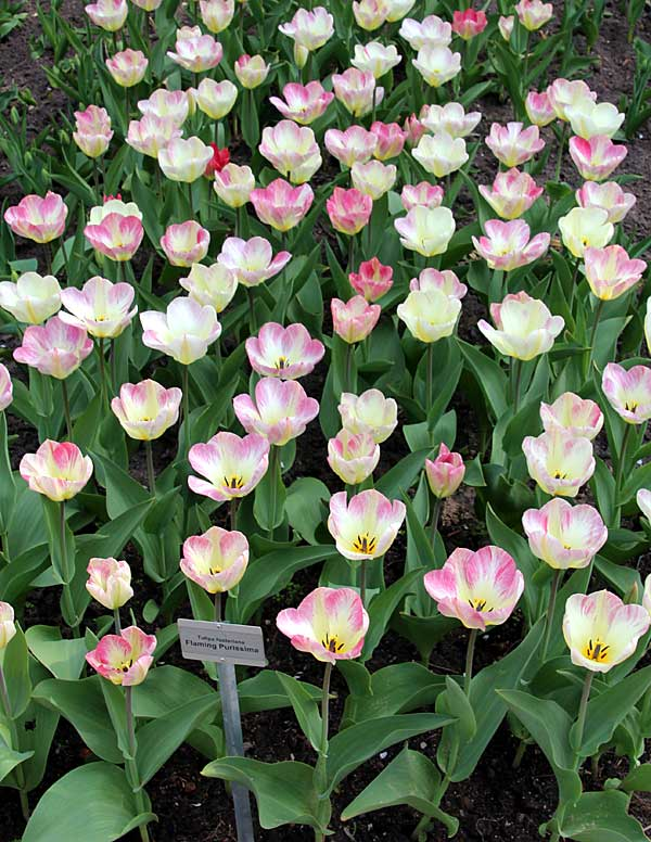 Tulipa fosteriana W. Irving 'Flaming Purissima'