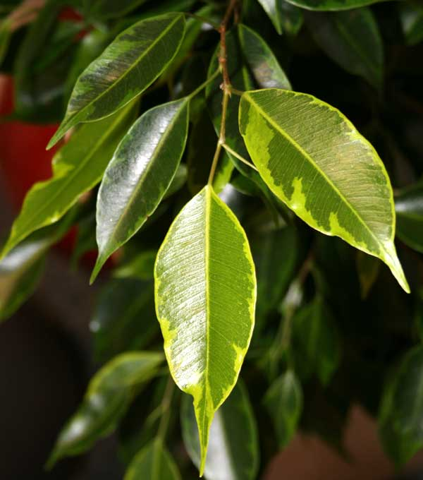 Ficus benjamina L. ′Golden King′