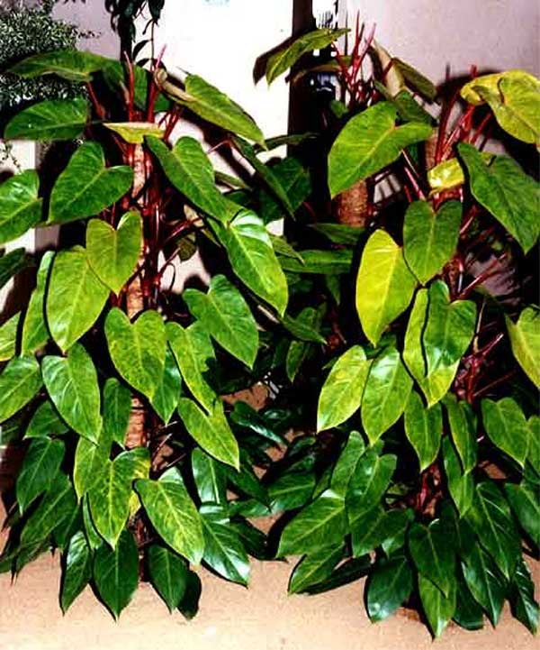 Philodendron erubescens K. Koch & Augustin